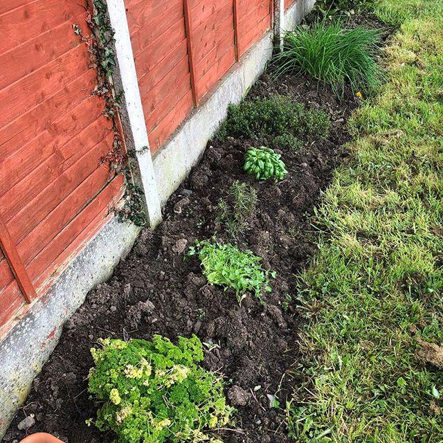 Herbs growing in the garden